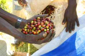 Roher Wildkaffee Äthiopien