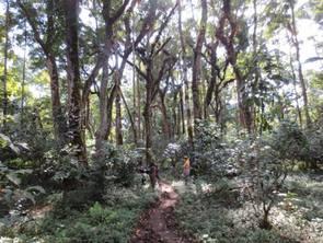 Wildkaffee im Dschungel