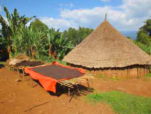 Trockung Wildkaffee Äthiopien